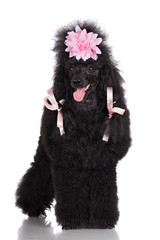 poodle dog with pink hair ribbons