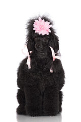 dog in a pink hair ribbons