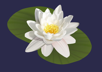 illustration of a water lily