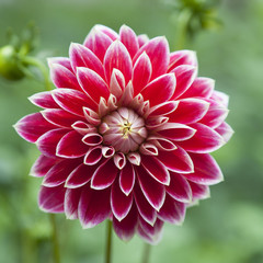 Cadres-photo bureau Dahlia single flower of red dahlia