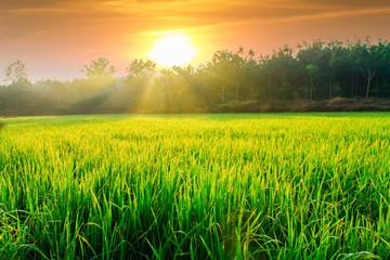 Fotobehang Platteland Morning sunlight with green rice fields