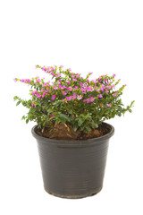 colorful False heather plant