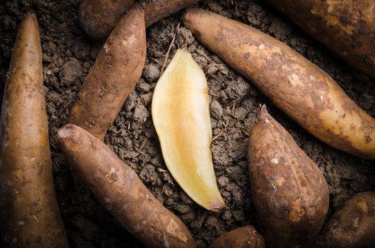 Fresh yacon Root