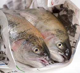 Close-up of two fresh trout wrapped in newspaper