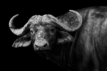 Foto auf Gartenposter Buffel Buffalo in black and white