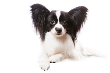 Beautiful papillon dog lying on isolated white