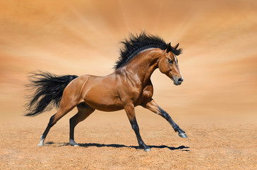 Fototapete - Galloping bay stallion on gold background