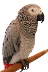 Jaco Parrot on white background
