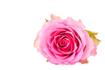 single pink rose isolated for withe background