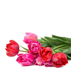 Tulpen vor weißem Hintergrund