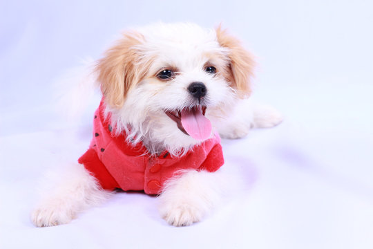 White poodle puppy wearing a red shirt. isolated on a white back