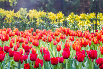 Colorful tulips flower
