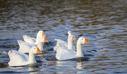 Several white Emden geese on lake