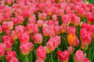 Group of pink tulips