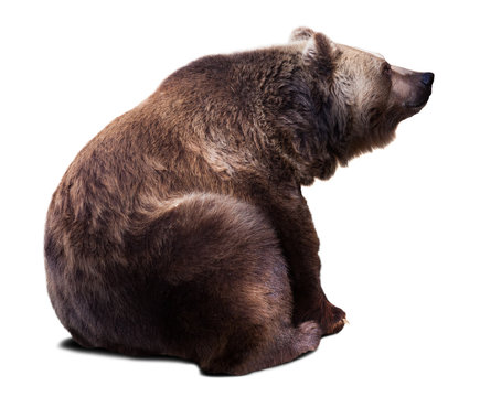 Sitting brown bear. Isolated  over white