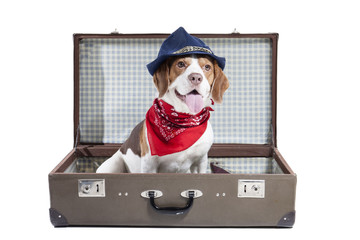 Beagle in a suitcase