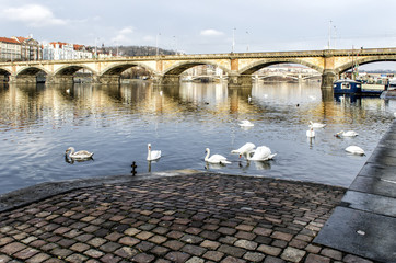 swans swimming on the river Vltavav Prague