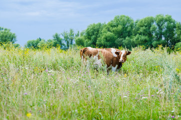 cow on a meadow pasture