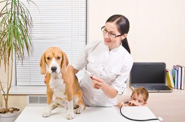 Veterinarian measures the body temperature of a beagle dog