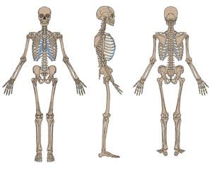 Human Skeleton Anatomy Brown