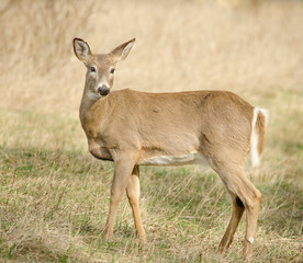 White-tailed Deer in Upstate, NY