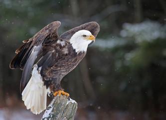 Fotoväggar - A Bald Eagle (haliaeetus leucocephalus)