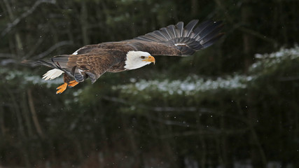Fotoväggar - Bald Eagle in Flight
