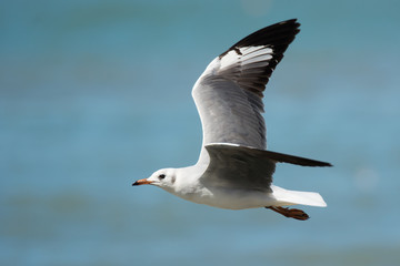 Young Grey-Headed Gull in flight