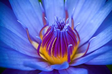 Garden Poster Lotus flower purple lotus
