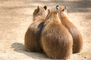 Capybara (Hydrochoerus hydrochaeris) is the largest rodent in th