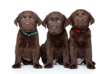 Three Labrador Retriever puppies