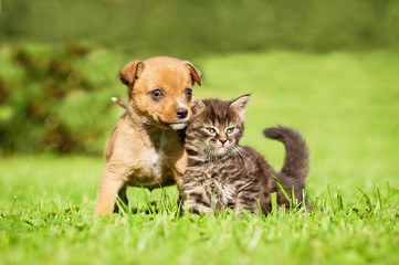 Wall Mural - Little puppy with  tabby kitten sitting on the grass