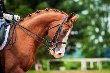 Portrait of red horse in dressage competition