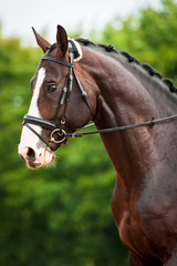 Portrait of bay horse in dressage competition