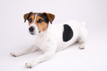 Lying Jack Russell terrier