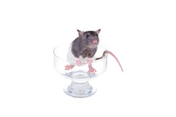 Young small rat in a cup