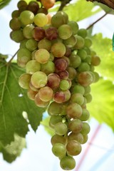 grapes with green leaves .