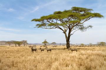 Obraz Zebra grazing in Serengeti - fototapety do salonu