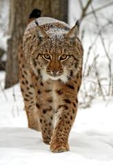 Aluminium Prints Lynx Winter Lynx