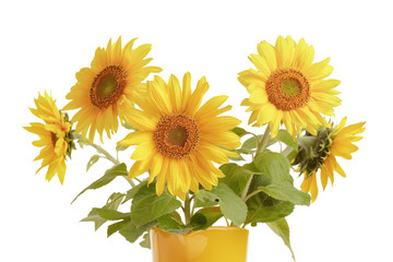 Sunflowers in yellow pitcher