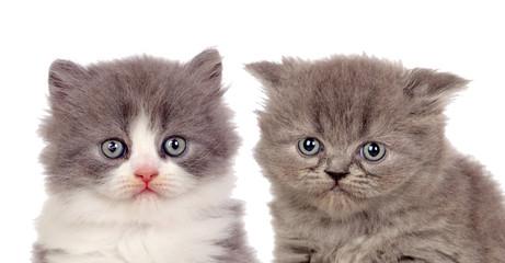 Nice pair of gray kittens