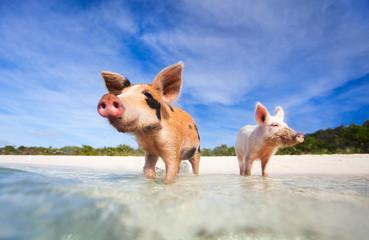 Fototapete - Swimming pigs of Exuma