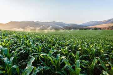 Farming Maize Crop Water Sprinklers