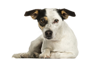 Jack russel terrier lying, looking at the camera, isolated