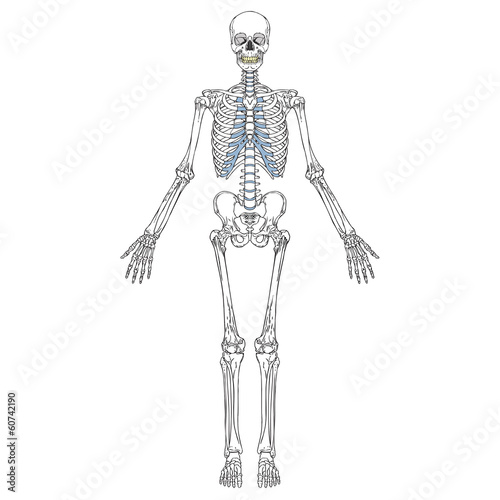 "human skeleton front"" stock image and royalty-free vector files on, Skeleton"