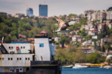Gull Above the Bosphorus