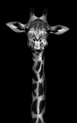 Wall Murals Giraffe Giraffe in Black and White