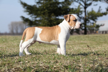 Gorgeous little puppy of American Staffordshire Terrier standing
