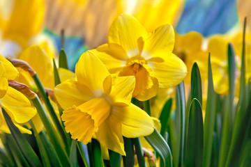 Beautiful yellow daffodils.