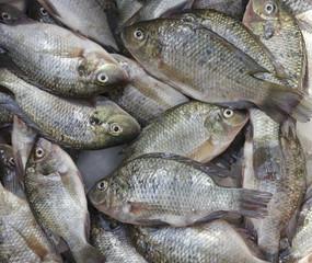 Fresh Tilapia fish